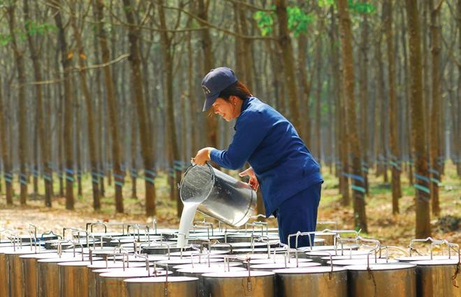 Giá cao su hôm nay 25/11: Cao su Nhật Bản bật tăng trước lo ngại nguồn cung khan hiếm